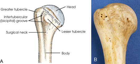 Anatomy of prox humerus