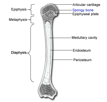 long-bone-diagram-long-bone