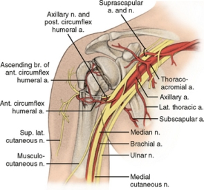 Nerve and arterial anatomy at prox humerus