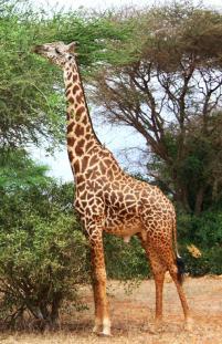 giraffe-eating-leaves